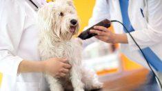 Todos los pasos para saber cómo depilar el pelo del perro