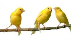 Pasos para alimentar a un canario