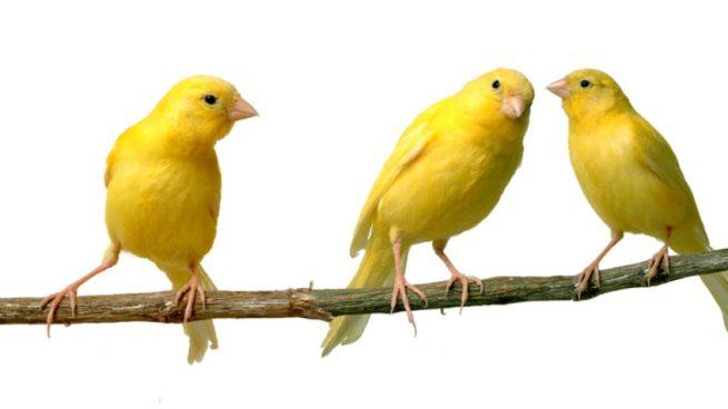 alimentar canario