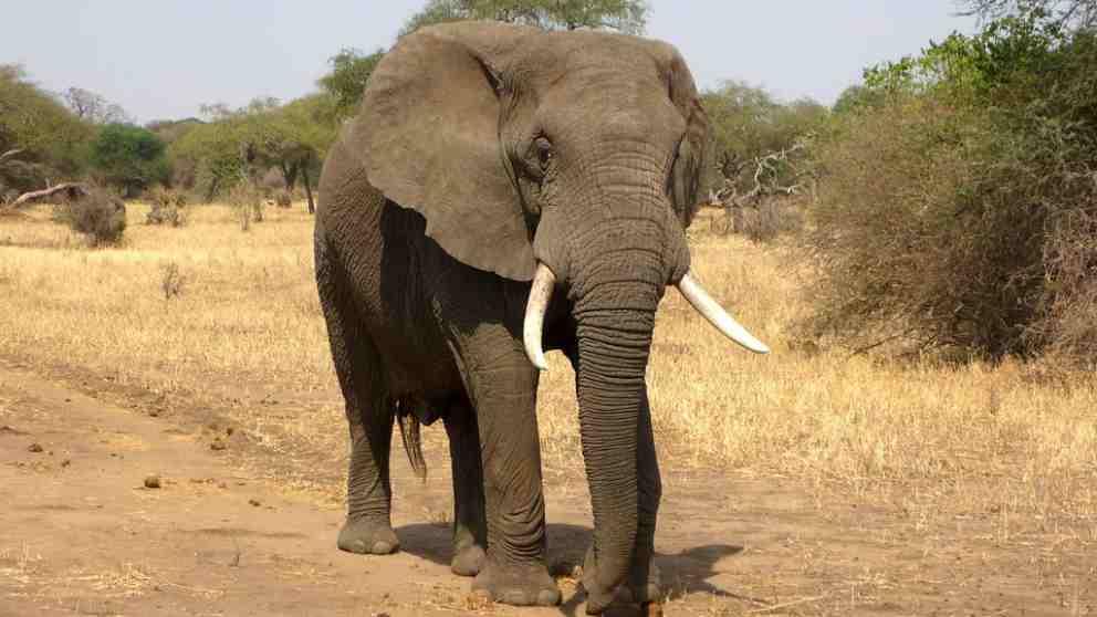 Los elefantes pierden colmillos en África.