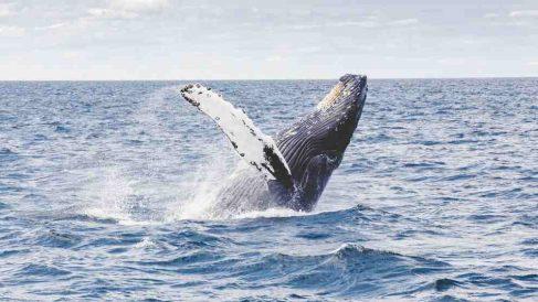 ¿La ballena explota? en algunas ocasiones sí.