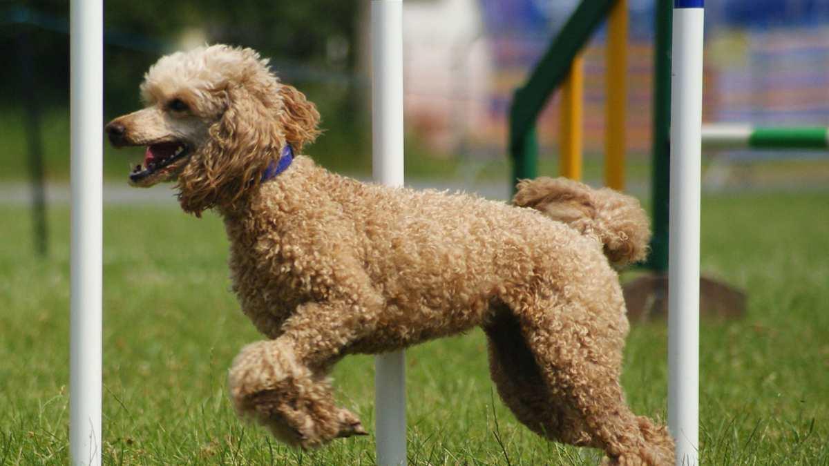 Las 7 razas de perros que menos pelo sueltan