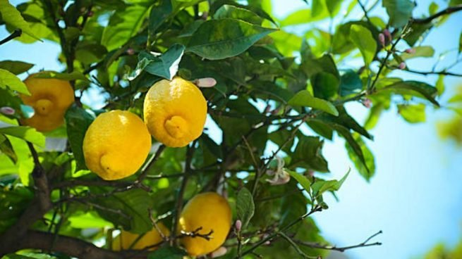 cuidar limonero