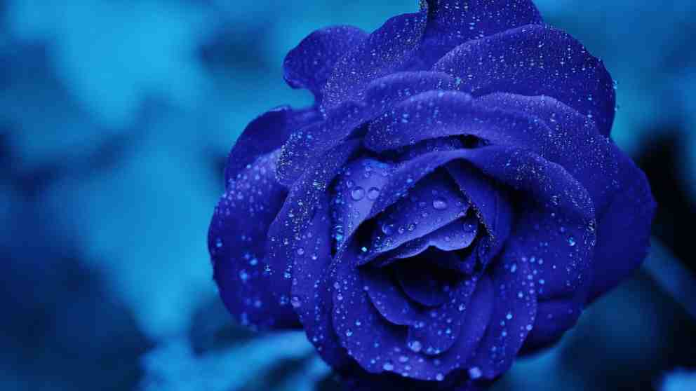 Rosas: El significado según su color
