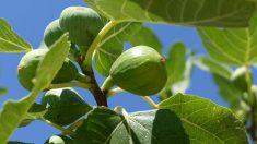 Guía sencilla de pasos para saber cómo plantar una higuera