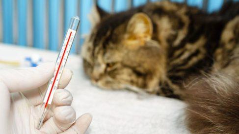 Guía de pasos para saber si mi gato tiene fiebre