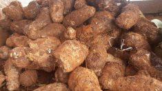 La malanga es un tipo de tubérculo que suele crecer en el continente americano y en las islas caribeñas.