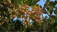 Todos los pasos para saber cómo plantar y cultivar pistachos