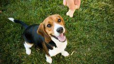 Cómo adiestrar un beagle paso a paso