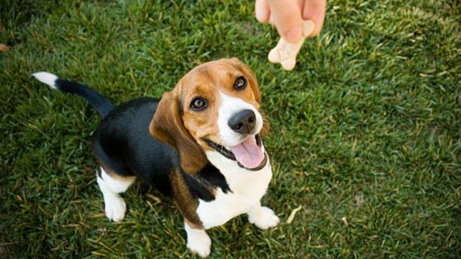 adiestrar un beagle