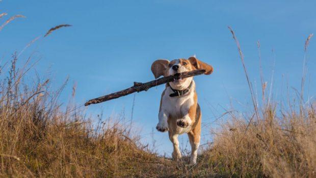 adiestrar beagle