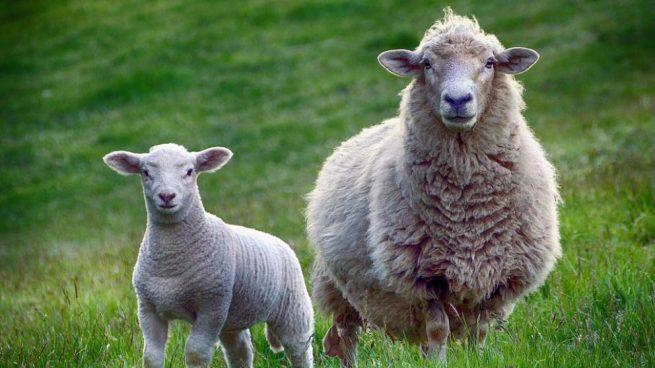 lana que produce una oveja