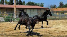 Los primeros caballos de la historia, hace 20 millones de años, tenían un tamaño pequeño.
