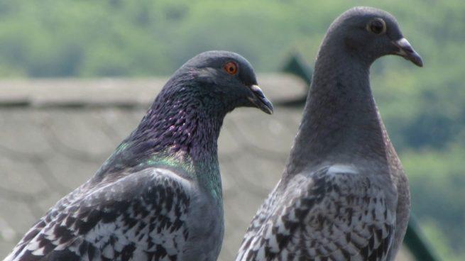 Facebook: Unas palomas intentan viajar gratis en un avión