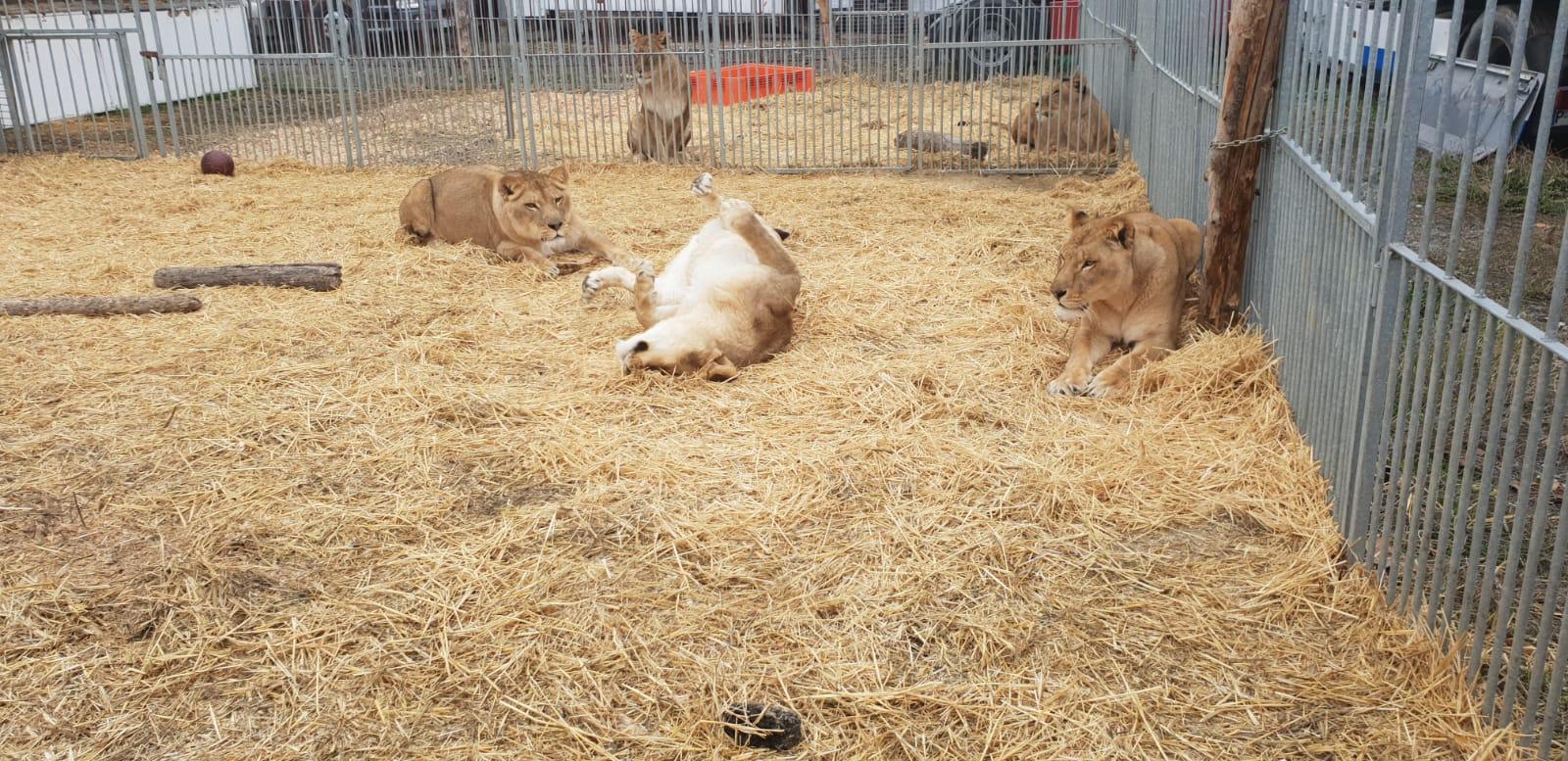 Tigres del Circo Quirós. (Foto cedida)