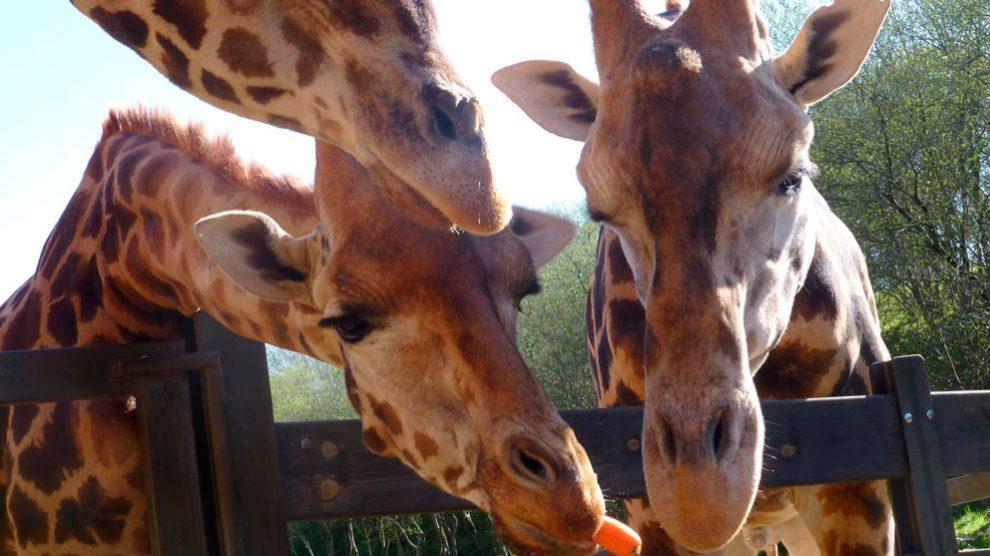 Cabárceno podría volver a tener girafas en Semana Santa.