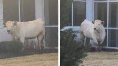 Una vaca fugitiva siembra el caos en Facebook