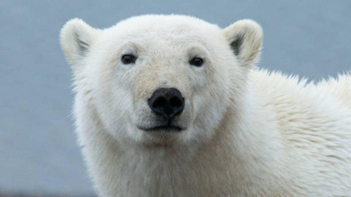 Descubre cuál es el color «real» del pelaje de los osos polares