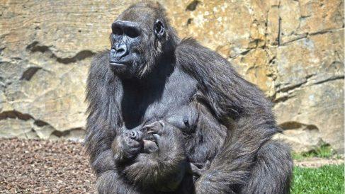 Gorila con su bebé. Foto: Europa Press