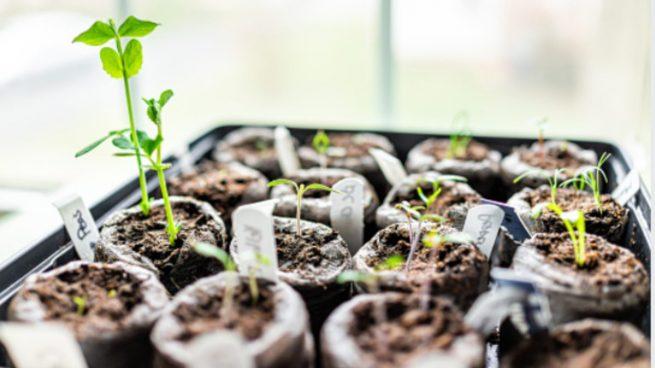 Cómo plantar tomates en macetas