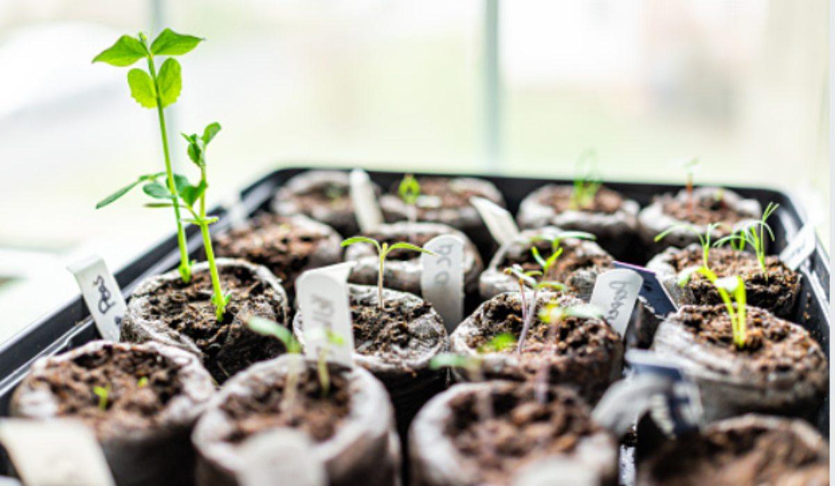Pasos para plantar tomates en macetas