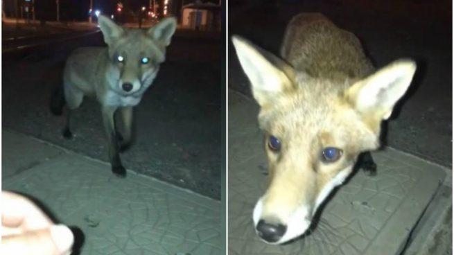 Un hombre confunde un zorro con un perro en Facebook