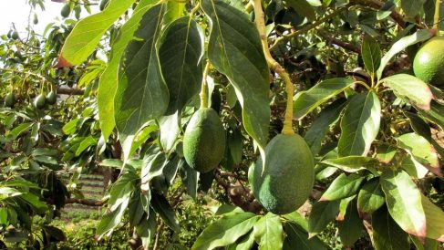 Guía de pasos sencilla para plantar un árbol de aguacate