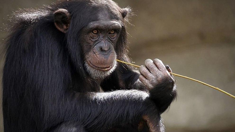Se especifica que estos animales se reconocen en el espejo pero desde una cierta edad.