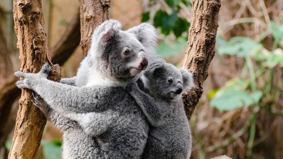 Facebook: Arriesga su propia vida para salvar un koala moribundo
