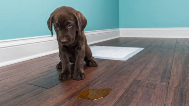 Geruch von Hundeurin zu Hause entfernen