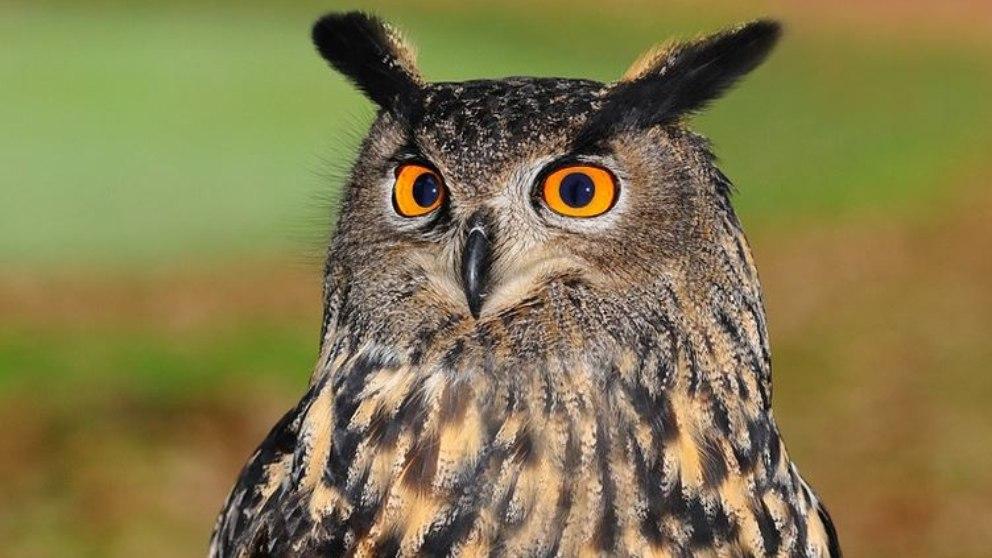 Descubre 6 curiosidades que debes saber sobre los búhos