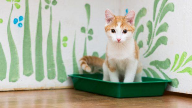 Cómo hacer que el gato use la caja de arena