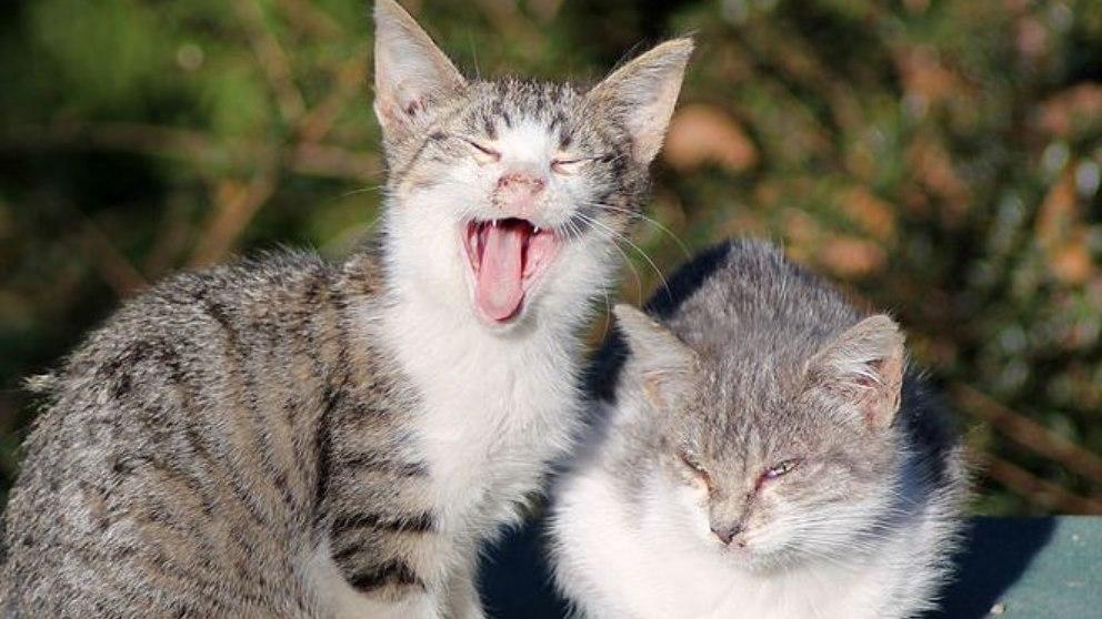 El gato es un animal que podemos tenerlo como mascota siempre que no se salvaje.