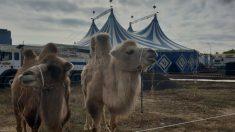 Camellos de un circo español. Foto: Europa Press