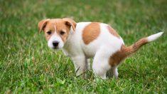 Descubre cómo aprovechar las heces de los perros
