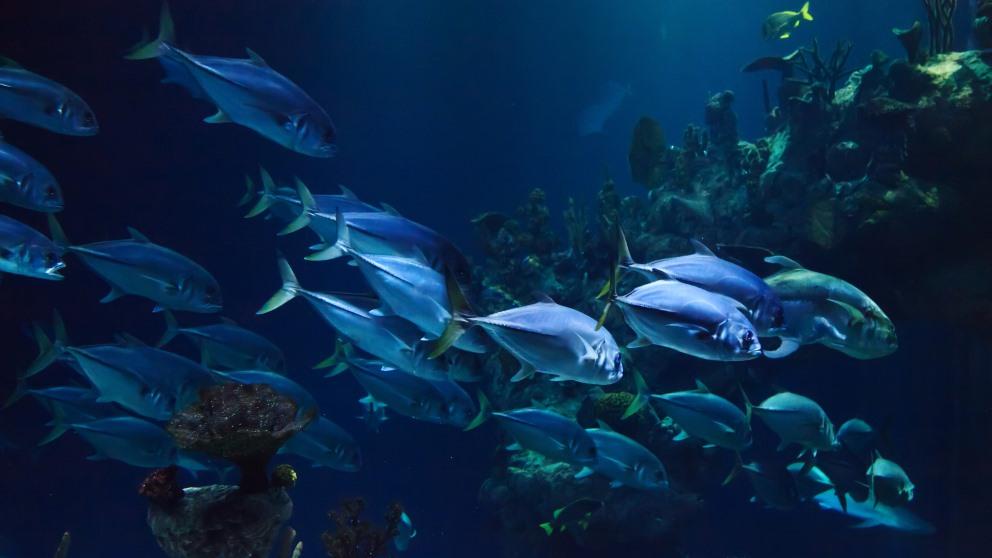 ¿Realmente tienen los peces mala memoria?