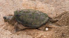 La forma ideal de cuidar huevos de tortugas