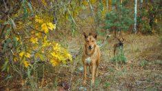 El caso de los perros radiactivos de Chernobyl