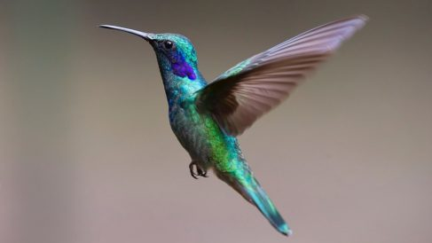 Conoce curiosidades sobre el colibrí