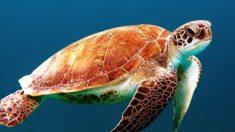 Las tortugas marinas son uno de los animales más interesantes que existen.
