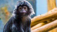 ¿Es posible tener en casa un mono como mascota?