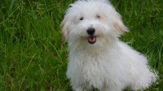 Cómo es la raza de perros Cotón de Tulear