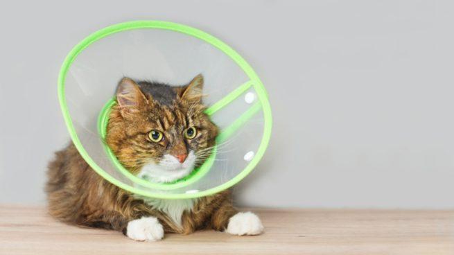 Hacer un collar isabelino para gatos