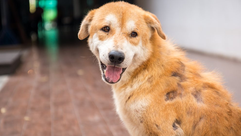 Bulldog infección crónica de oído y piel