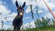 Un repaso a las diferencias entre burro y asno