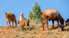 Las razas de perros guardianes de ovejas