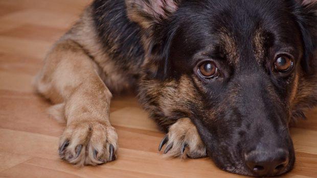 perros más cariñosos