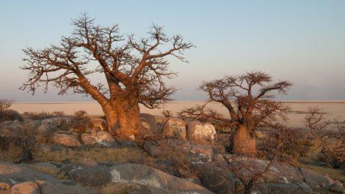 Hay árboles africanos que son una maravilla para los sentidos