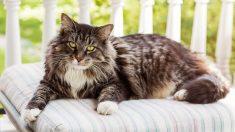 Las más conocidas razas de gatos gigantes