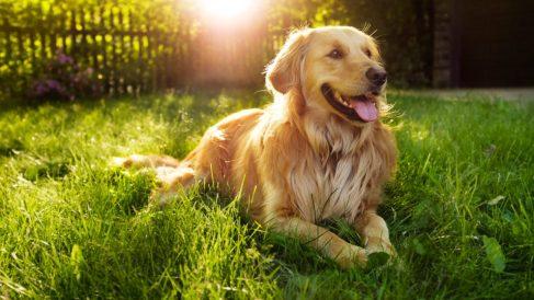 ¿Cómo son las razas de perro americano?